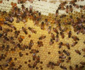proses sarang lebah di isi nektar bunga