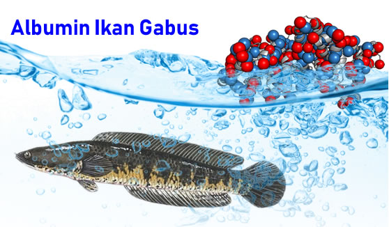 manfaat albumin ikan gabus